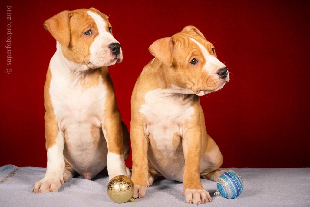 Рекламная съёмка щенков на дому у заказчика