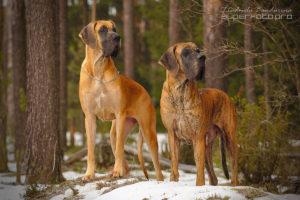 Viskonti Dog Opiria Best Winner и Viskonti Dog Nort Arlington