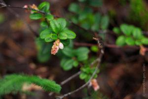 Цветы брусники