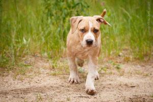 Щенок амстафф Ценный Приз Босс фото для продажи щенка