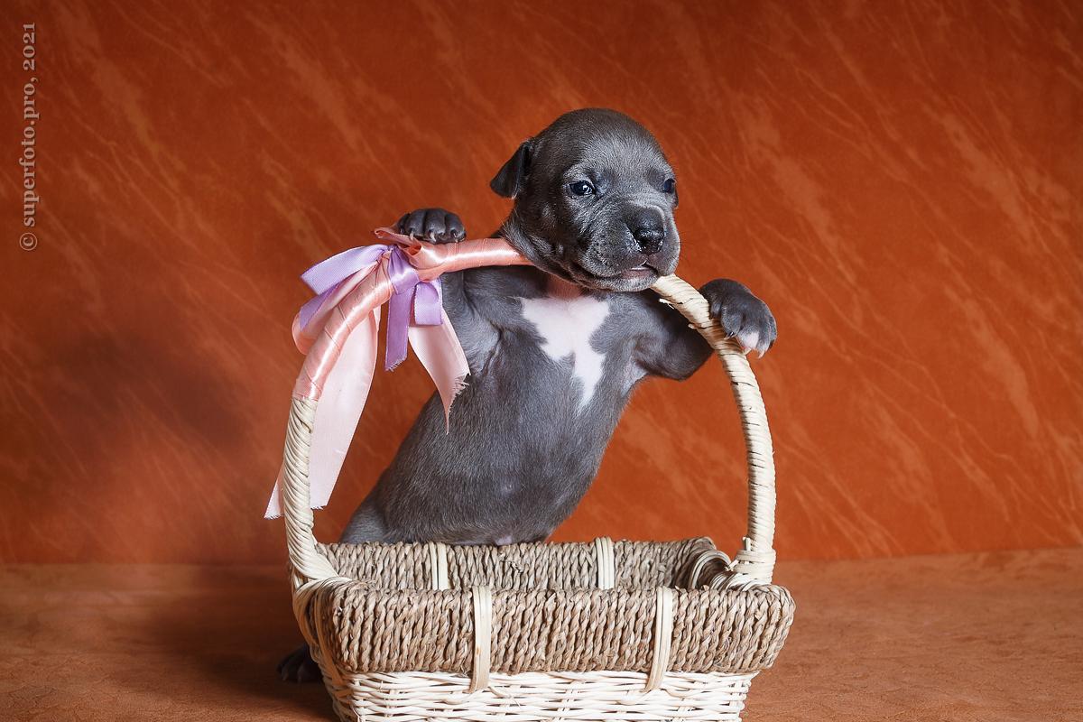 Фото щенков амстаффа для продажи